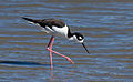 Black-necked stilt (Himantopus mexicanus) at Richardson Bay.jpg