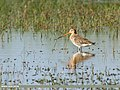 Black-tailed Godwit (Limosa limosa) (40813909825).jpg