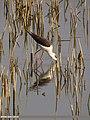 Black-winged Stilt (Himantopus himantopus) (15706294260).jpg