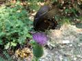 BlackSwallowtail.png