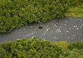 Black Bear in Russian River.jpg