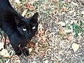 Black Cat (9499540081).jpg