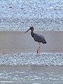 Black Stork (Ciconia nigra) (46511322852).jpg