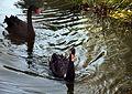 Black Swans Swim.jpg