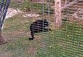 Black panther 2, Al-Ain Zoo.jpg