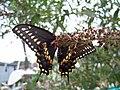 Black swallowtail underside.jpg