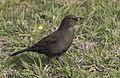 Blackbird - Karatavuk 01.jpg