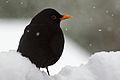 Blackbird Blackbird (Turdus merula) In Snow.jpg