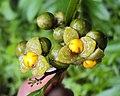 Blepharistemma serratum fruits 01.JPG