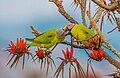 Blossom-Headed Parakeet ফুলমাথা টিয়া.jpg