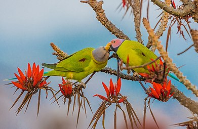 Blossom-Headed Parakeet ফুলমাথা টিয়া.jpg