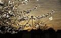 Blossom against the Evening Sky - geograph.org.uk - 1824456.jpg