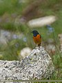 Blue-fronted Redstart (Phoenicurus frontalis) (37199181015).jpg