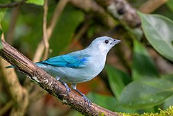 Blue-gray Tanager (45494702545).jpg