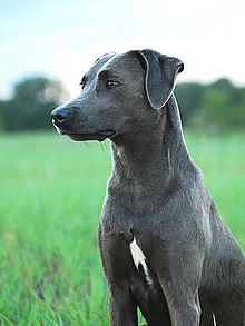 Blue Lacy Dog Uk