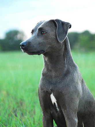 Blue Lacy - Solid Charcoal