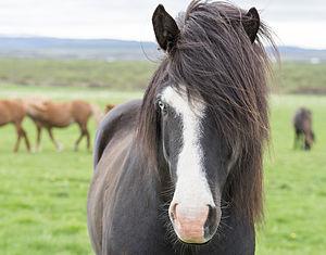 Icelandic horse - A blue-eyed Icelandic horse.