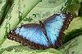 Blue Morpho (12327081485).jpg