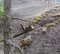 Blue grouse encountered on the Chief hike at Stawamus Chief Provincial Park, BC (DSCF7631).jpg