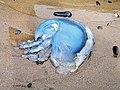 Blue jellyfish (Cyanea lamarckii) - geograph.org.uk - 532228.jpg