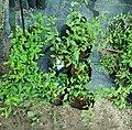 Blue plumbago plantlings.jpg