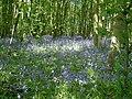 Bluebell Woods - geograph.org.uk - 352738.jpg