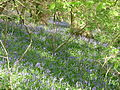 Bluebells on Churchdown Hill.JPG