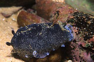 <i>Dendrodoris</i> genus of molluscs