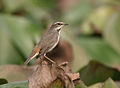 Bluethroat (Luscinia svecica) in Kolkata W2 IMG 3385.jpg