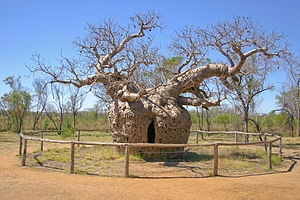 "Derby, Western Australia - This boab tree near Derby was used as a prison, hence the name the ""Boab Prison Tree"""