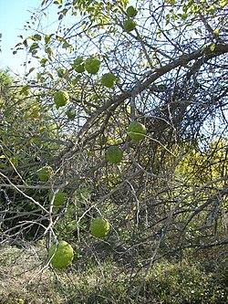Bois'd Arc -osage orange- tree.JPG