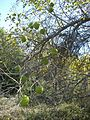 Bois'd Arc -osage orange- tree.JPG