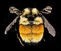 Bombus ternarius, F, Back, NY, Franklin County 2014-07-01-16.18.08 ZS PMax.jpg