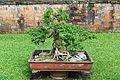 Bonsai - Temple of Literature, Hanoi - DSC04674.JPG