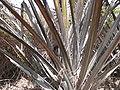 Borassus aethiopum 0097.jpg