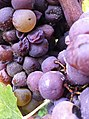 Botrytis infected grapes in Sauternes.jpg