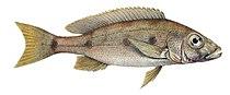 Boulengerochromis microlepis.jpg