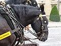 Boulonnais black horse head (2).jpg
