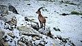 Bouquetin près du Lac de la Patinoire (2565 m) (2).jpg