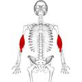 Brachialis muscle11.png