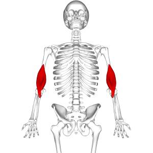 Brachialis muscle - Position of brachialis (shown in red).