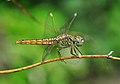 Brachythemis contaminata (6) , Burdwan, West Bengal, India 04 10 2012.JPG