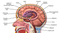 Brain Anatomy Striatum.png