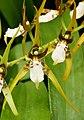 Brassia jipijapensis (Orchidaceae) (30646904125) - cropped.jpg