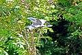 Brazil-00405 - Cocoi Heron (48963842606).jpg