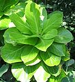 Brighamia insignis - 'Olulu - stat-endangered - desc-whole plant.jpg