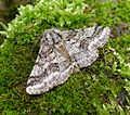 Brindled Beauty. Male. Lycia hirtaria. - Flickr - gailhampshire.jpg