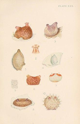 Joshua Alder - Plate from British Tunicata