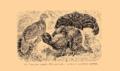 Brockhaus and Efron Encyclopedic Dictionary b33 074-0- 10 - Tetrao tetrix.png