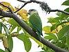 Brotogeris pyrrhoptera -Guayas -Ecuador-8